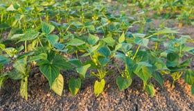Jeunes plantes de haricot vertes dans les rangées Photographie stock libre de droits