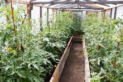 Jeunes plantes de l'élevage de tomates Image stock