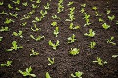 Jeunes plantes de laitue image libre de droits