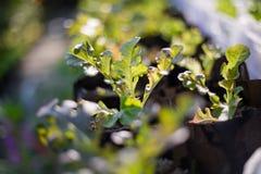 Jeunes plantes de laitue Images libres de droits