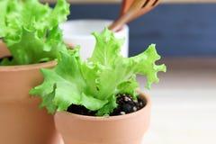 Jeunes plantes de laitue dans le pot de fleur photo libre de droits