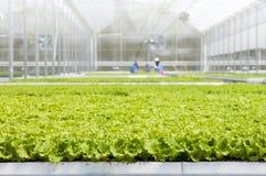 Jeunes plantes de laitue en serre chaude photo stock