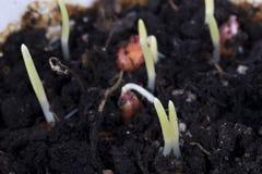 Jeunes plantes de maïs dans les domaines Photo stock