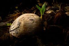 Jeunes plantes de noix de coco Images libres de droits