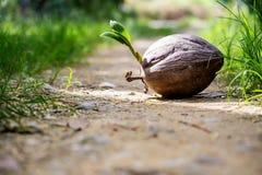 Jeunes plantes de noix de coco Image libre de droits