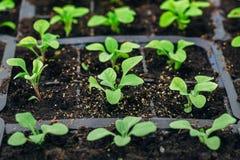 Jeunes plantes de pétunia dans des pots en plastique Vue de plan rapproché photo libre de droits