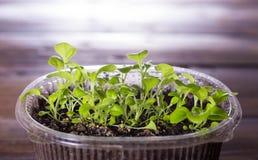 Jeunes plantes de pétunia dans le récipient en plastique Image libre de droits