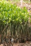 Jeunes plantes de palétuvier Photos stock