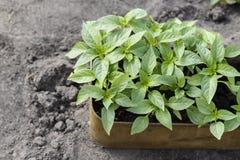 Jeunes plantes de paprika images libres de droits
