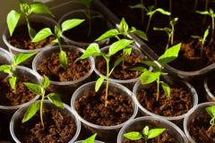 Jeunes plantes de paprika images stock