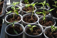Jeunes plantes de paprika photographie stock libre de droits