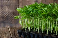 Jeunes plantes de paprika dans le plateau en plastique sur le conseil en bois Vue au château de patrimoine mondial de Cesky Kruml photo stock