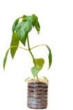 Jeunes plantes de paprika dans le pot en plastique images stock