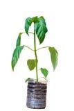 Jeunes plantes de paprika dans le pot en plastique photo stock