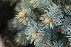 Jeunes plantes de pin, aiguilles, plan de triangle, texture photos libres de droits