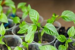 Jeunes plantes de poivre élevant dans des pots Photos libres de droits