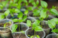 Jeunes plantes de poivre élevant dans des pots Images libres de droits