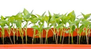 Jeunes plantes de poivre Photos stock