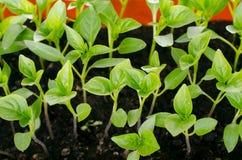 Jeunes plantes de poivre Photo libre de droits