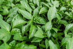 Jeunes plantes de poivre Photo stock