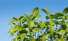 Jeunes plantes de poivre au-dessus de ciel bleu Photos stock
