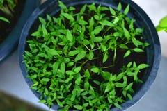 Jeunes plantes de poivre dans des pots Photos stock