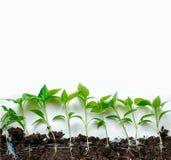 Jeunes plantes de poivre Poivre dans la culture de serre chaude Jeunes plantes en serre chaude Photo libre de droits