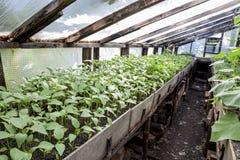 Jeunes plantes de poivre Poivre dans la culture de serre chaude seedlings Photos libres de droits
