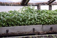 Jeunes plantes de poivre Poivre dans la culture de serre chaude seedlings Photographie stock