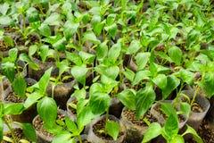 Jeunes plantes de poivre Poivre dans la culture de serre chaude seedlings Photo stock