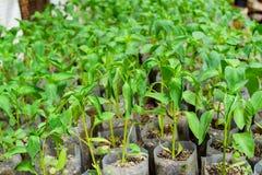 Jeunes plantes de poivre Poivre dans la culture de serre chaude seedlings Photographie stock libre de droits