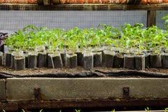 Jeunes plantes de poivre Poivre dans la culture de serre chaude seedlings Images libres de droits