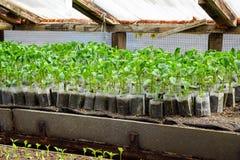Jeunes plantes de poivre Poivre dans la culture de serre chaude seedlings Photo libre de droits