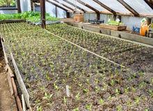 Jeunes plantes de poivre Poivre dans la culture de serre chaude seedlings Image libre de droits
