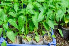 Jeunes plantes de poivre Poivre dans la culture de serre chaude seedlings Images stock