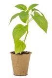 Jeunes plantes de poivre dans un pot de tourbe photos stock