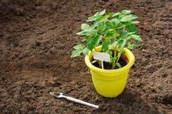 Jeunes plantes de poivre dans un pot jaune Outils de jardinage neufs, plateau de canne Place pour le texte photographie stock