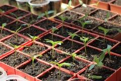Jeunes plantes de poivron doux dans des récipients rouges Images libres de droits