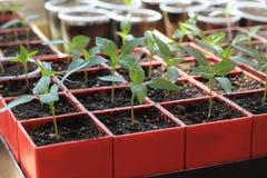 Jeunes plantes de poivron doux dans des récipients rouges Fin vers le haut Images libres de droits