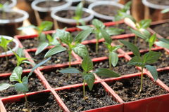 Jeunes plantes de poivron doux dans des récipients rouges Fin vers le haut Images stock