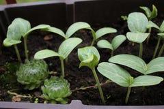 Jeunes plantes de potiron dans mon jardin organique avec des cactus images stock