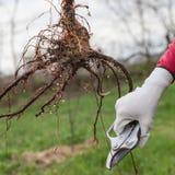 Jeunes plantes de racine d'élagage avant la plantation photographie stock libre de droits