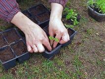 Jeunes plantes de replantation image stock