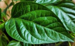 Jeunes plantes de ressort Basses pousses des poivrons cultivés Les pousses du poivre cultiv?es de la graine photos libres de droits
