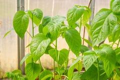 Jeunes plantes de ressort Basses pousses des poivrons cultiv?s ? la maison dans des bo?tes Les pousses du poivre cultiv?es de la  image stock