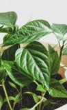 Jeunes plantes de ressort Basses pousses des poivrons cultiv?s Les pousses du poivre cultiv?es de la graine photo stock