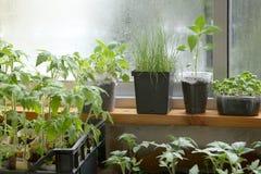 Jeunes plantes de ressort : tomates, poivre, choux, basilic et poireaux Jeunes plantes végétales dans des pots sur le rebord de f photographie stock libre de droits