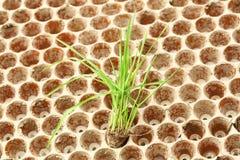 Jeunes plantes de riz Images stock