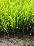 Jeunes plantes de riz Photos stock