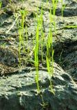 Jeunes plantes de riz Image stock